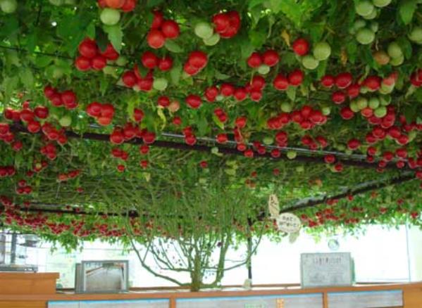 【トマトが巨木化】水耕栽培が植物を超絶活性化させる深い理由と、水耕栽培の始め方、コツ集。